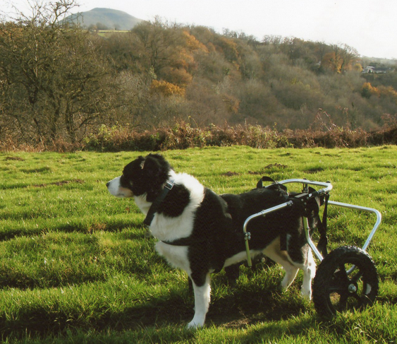 Watch Paralyzed Dogs Walk Again After Nose Cell Transplants