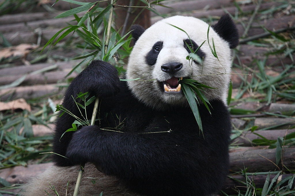 How To Argue With Someone Who Says 'Pandas Deserve To Die'