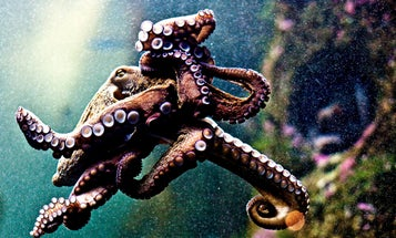 An Electronic Camouflage Cloak Inspired By Color-Changing Octopus Skin