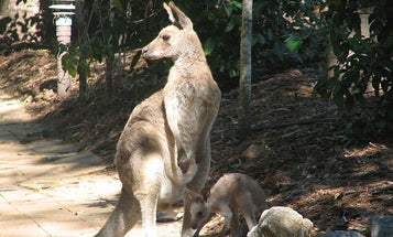 Australian Teen Arrested For Terror Plot Involving A Bomb In A Kangaroo Pouch
