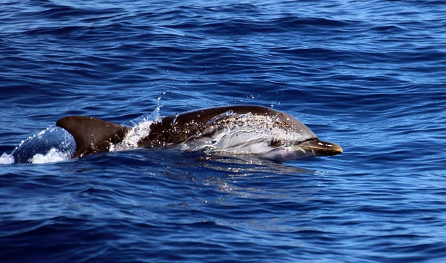 A dolphin swimming
