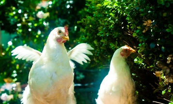 Cage-free chickens keep winding up with broken bones, and scientists are looking for a solution