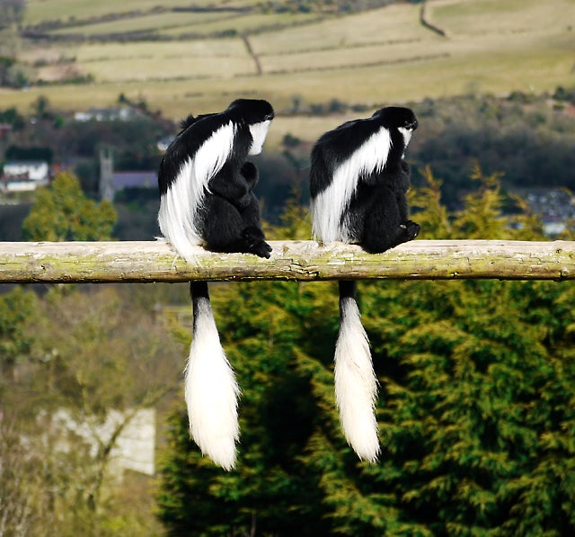 Colobus monkeys sitting