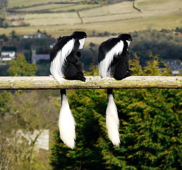 Colobus monkeys sitting