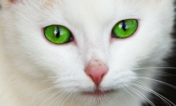 Do You Have Horizontally Slit Pupils? You Might Be A Prey Animal