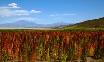The quinoa genome could help scientists get it out of the health food aisle