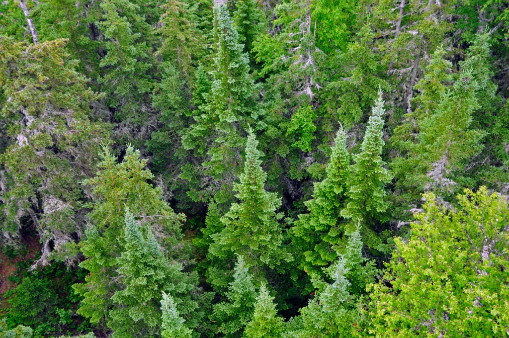 Looking down on the forest of Isle Royale from an overlook.