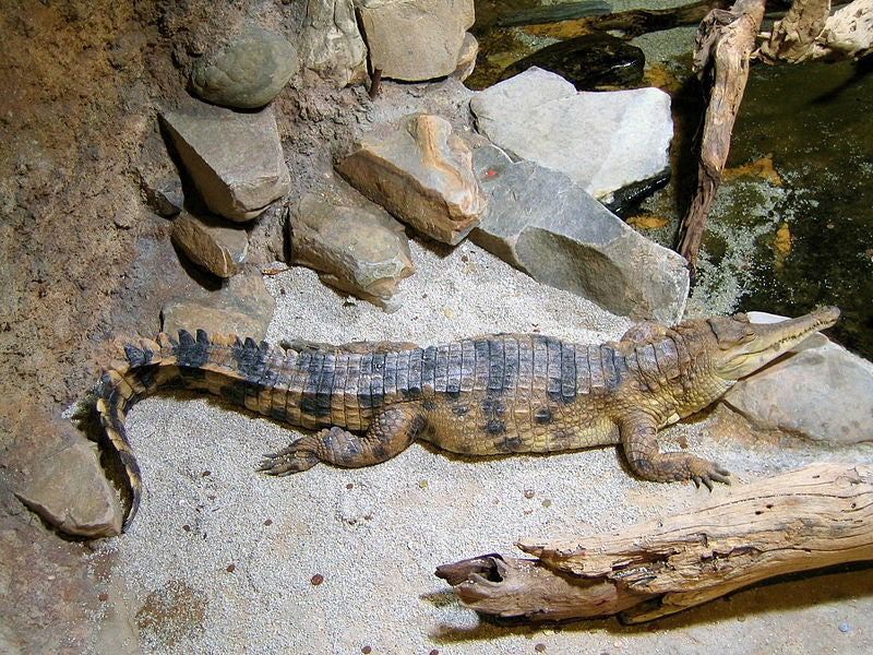 New Crocodile Species Found In West Africa