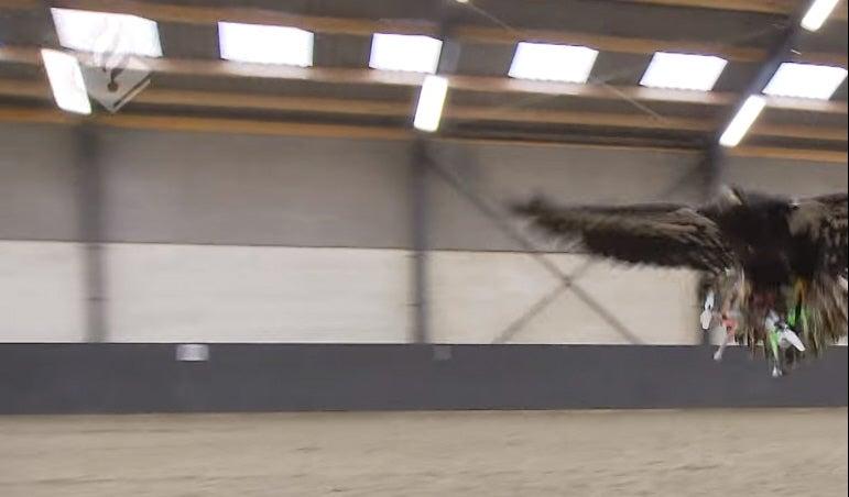 Eagle Catches Drone