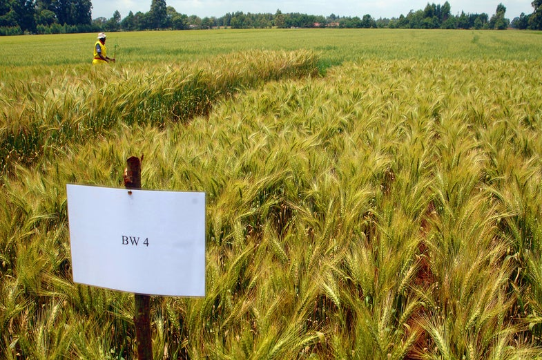 Irradiated Seeds Combat World's Most Serious Wheat Disease