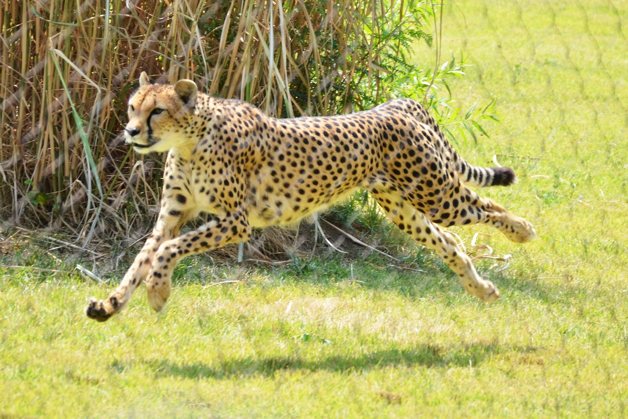 Sarah The Cheetah, World's Fastest Land Animal, Has Died