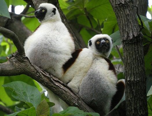 Lemurs In Love Start To Smell Alike