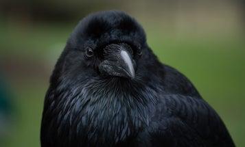 Bird Brains Are Richer In Neurons Than Mammal Brains