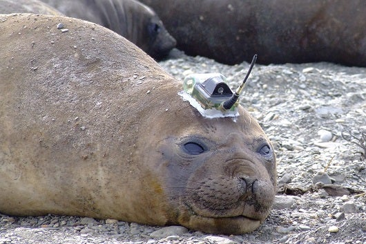 An 'Army' Of Seals Gathers Data In Antarctica