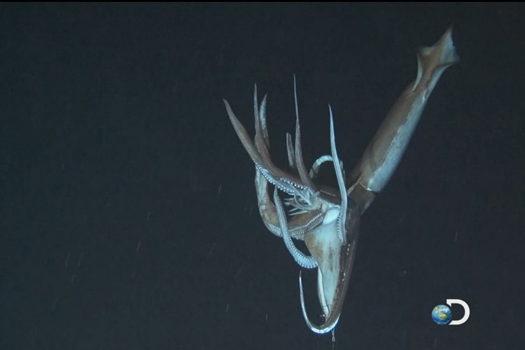 """Despite Widely Varied Appearances, Giant Squid Worldwide Are Only One """"Very Weird"""" Species"""