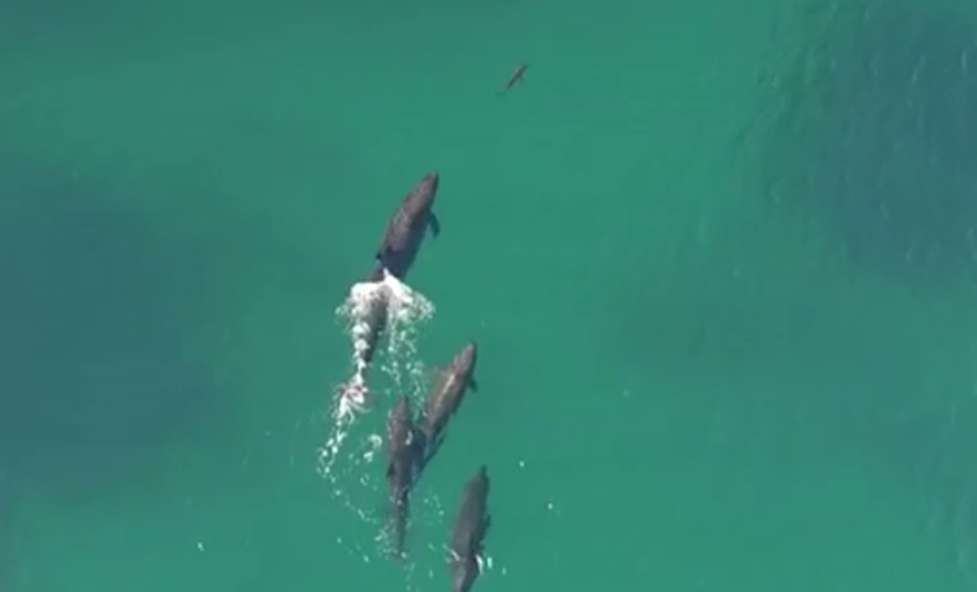 Watch Drone Footage Of Whales Hunting A Shark