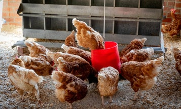 How studying chicken butts cracked the inner workings of our immune system