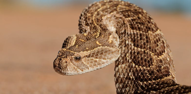 What snakes lack in legs they make up for with strange body manipulations