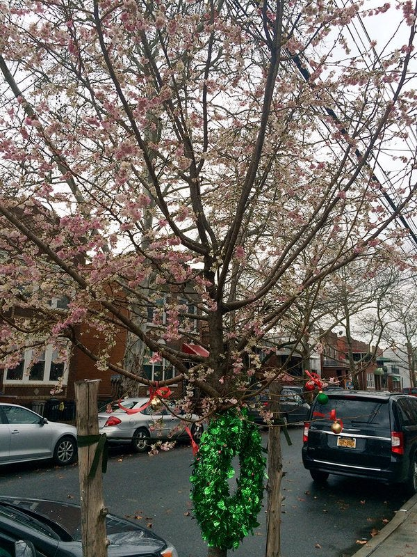 A flowering Brooklyn tree on December 24