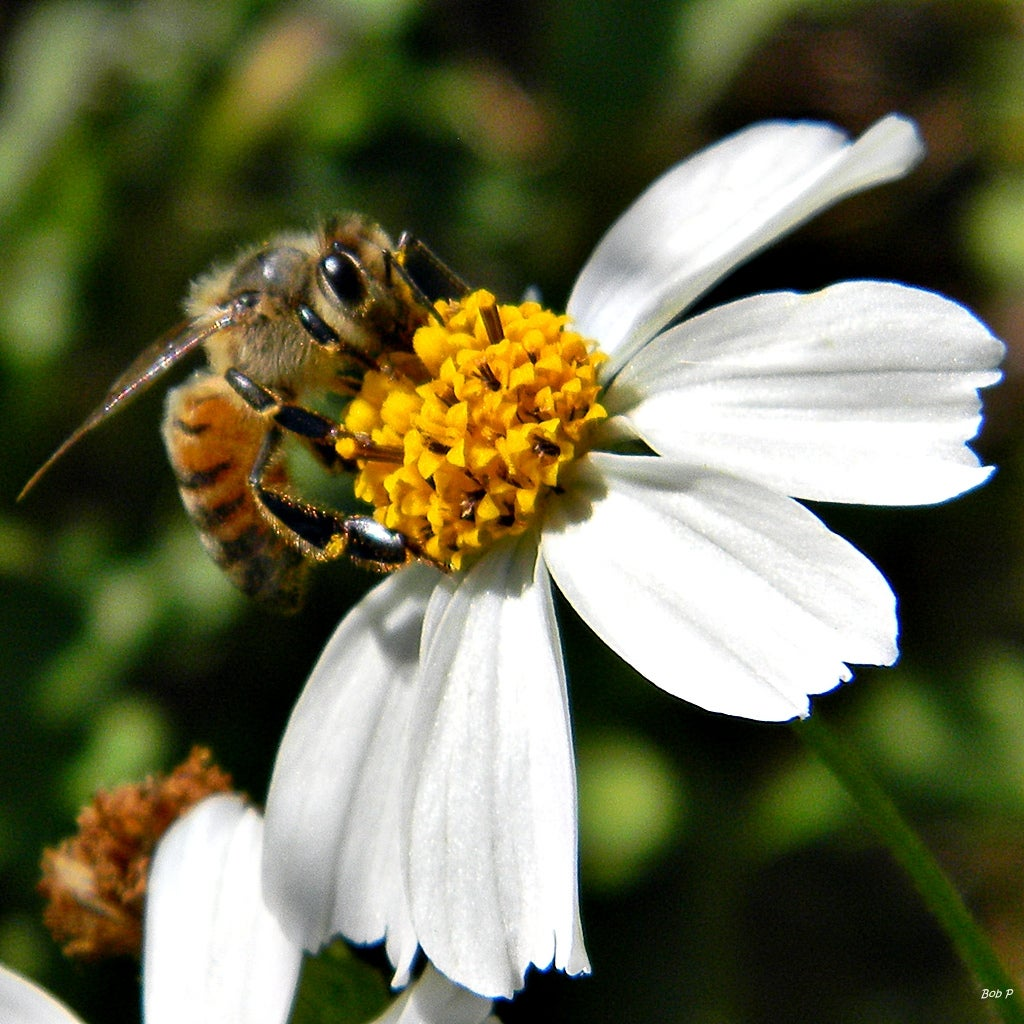 How Honey Bees Point Their Way To Food