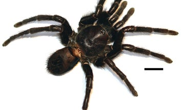 New Species Of 'Magical Realist' Tarantula Attacks With Its Rear End
