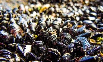 Using Nanoparticles And Mussel Glue To Clean Up Oil Spills