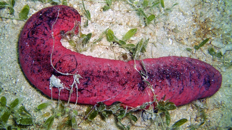 This Sea Cucumber Looks Like A Burnt Hot Dog, And It's In Trouble