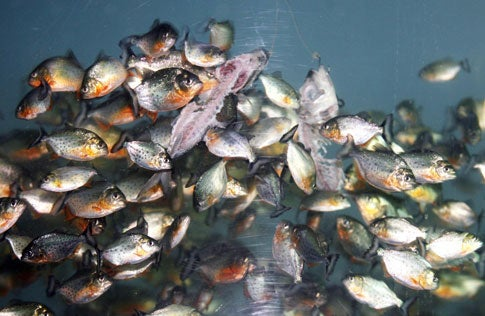How Long Would it Take Piranhas to Eat a Person?