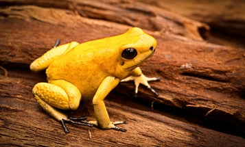 Scientists just synthesized the deadly toxin of an adorable frog