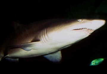 Fatal Shark Attacks at 20 Year Low