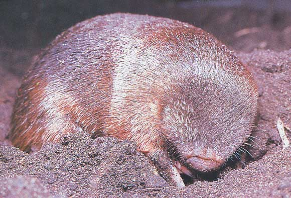 The World's Only Iridescent Mammal Is Blind and Lives Underground
