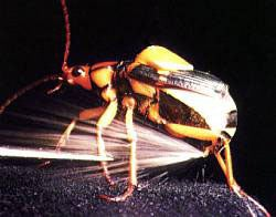 The Beetle as Muse