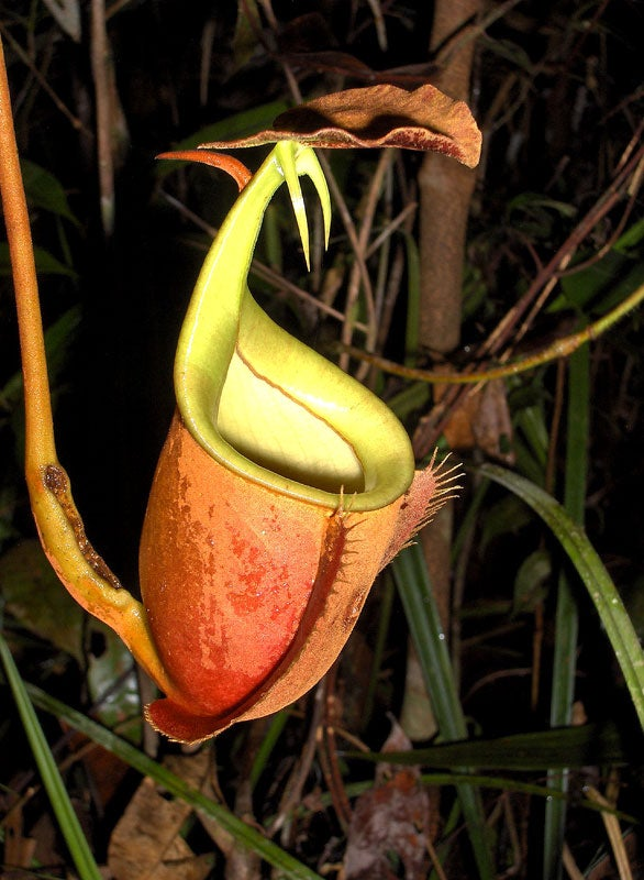 """""""Nepenthes"""
