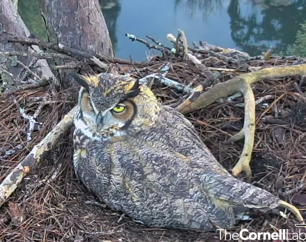Watch These Great Horned Owls Eat, Sleep, And Look Majestic [Video]