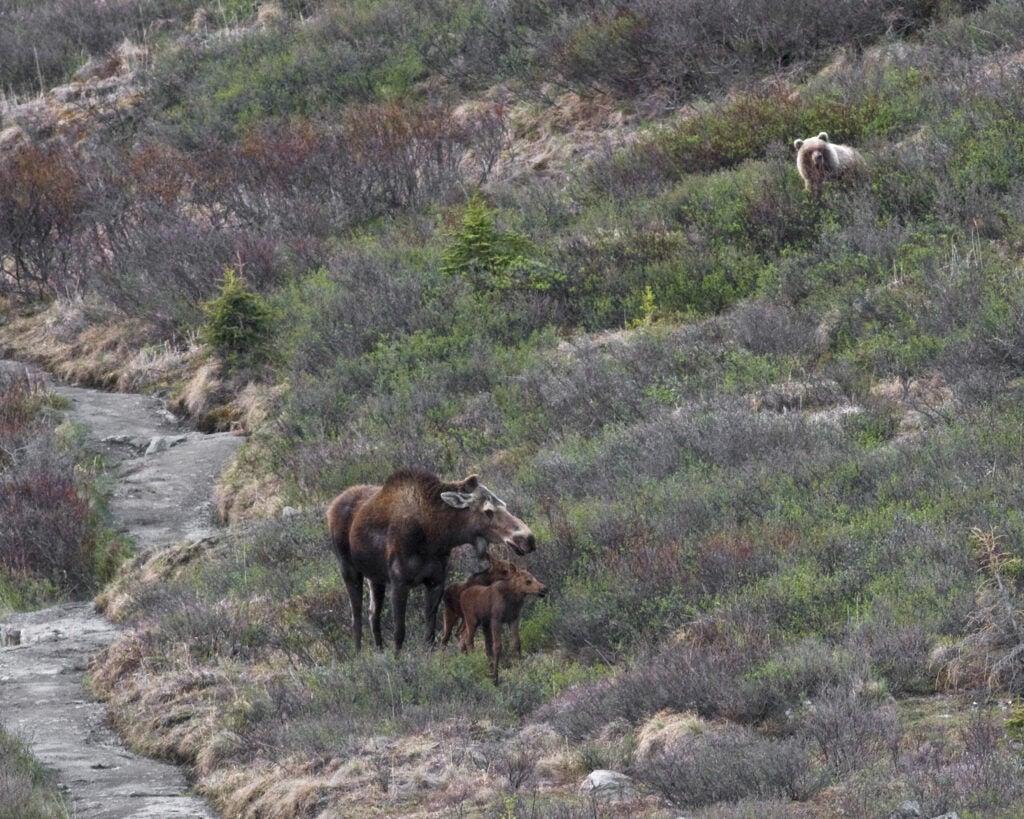 """""""Moose,"""