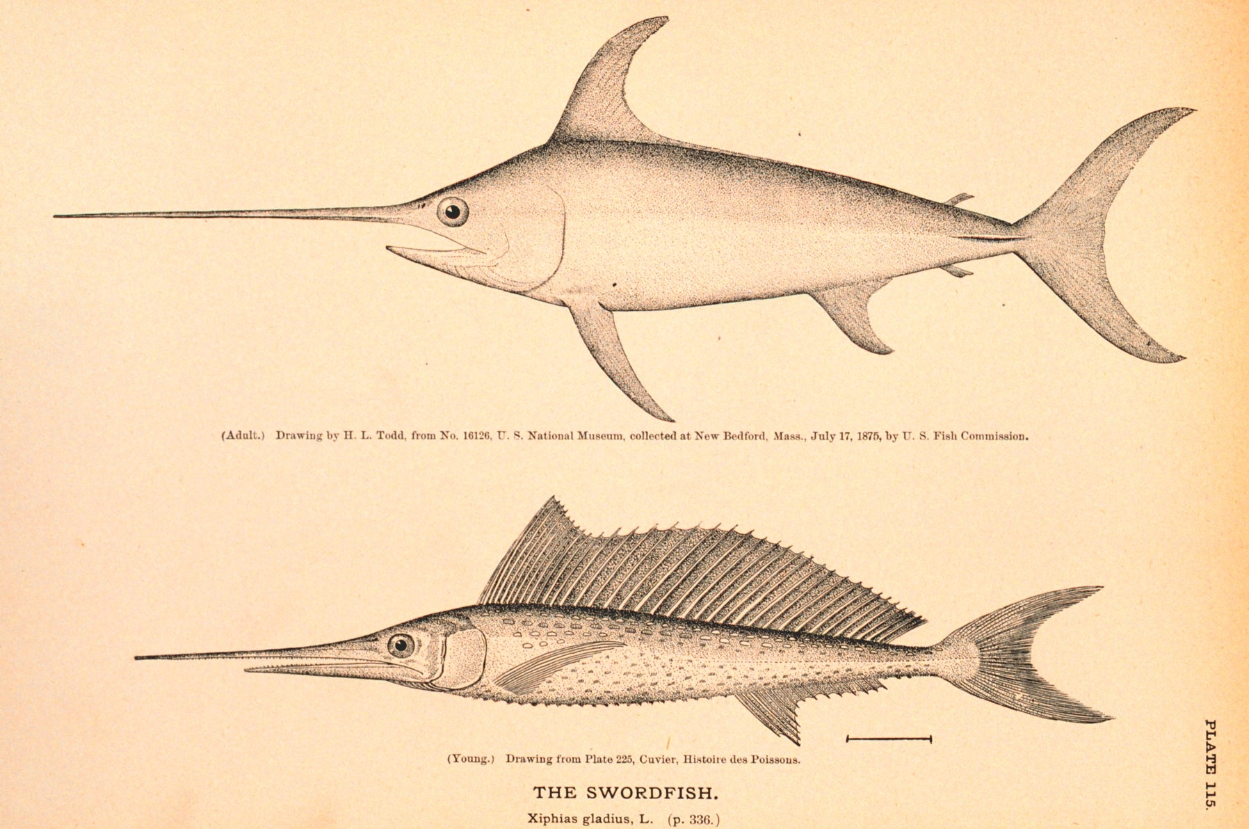 Swordfish May Grease Their Heads To Swim Faster