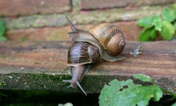 """Mutant """"lefty"""" snail named Jeremy finally finds a mate – thanks to a Twitter hashtag"""