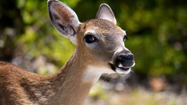Chronic wasting disease takes years to kill deer, but it's always terminal.