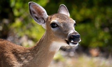 A fatal disease is spreading among U.S. deer, but there may be a new way to detect it