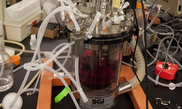 Dutch Scientists Grow First Pork Meat In Lab