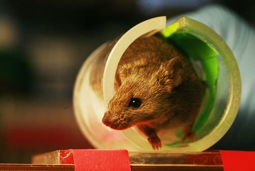 CalTech Researchers Find a Toggle Switch for Mouse, and Perhaps Human, Aggression