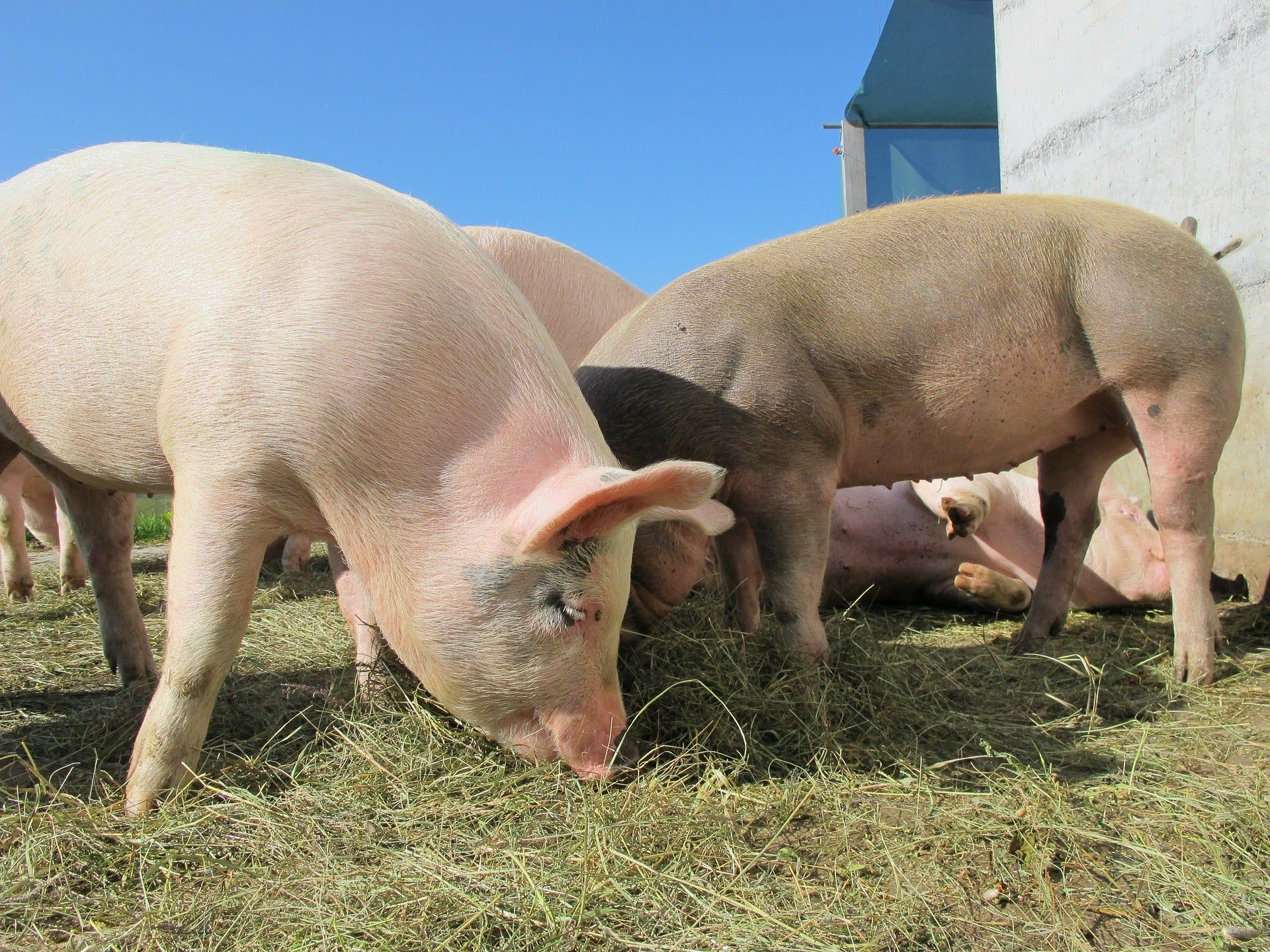 Biotech Company Is Developing Transplantable Pig Organs For Humans