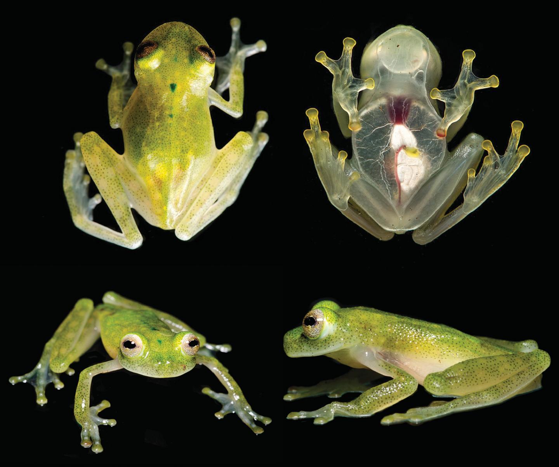 Hyalinobatrachium yaku glassfrog from beneath
