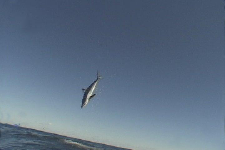 jumping mako shark