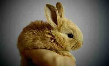 The origin story of domesticated rabbits may be all wrong