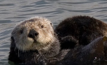 Researchers Attempt To Understand Why Land Development Is Bad News For Sea Otters