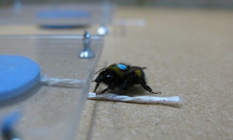 Watch A Bumblebee Tug A String To Get Lunch