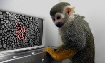 Colorblind Monkeys Recover Sight with Gene Therapy