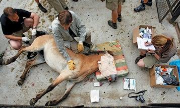 Endangered Wild Horses Get a Health Check