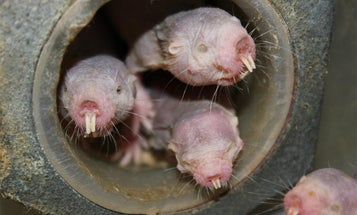 Warning: Do NOT get into a breath-holding contest with a naked mole rat